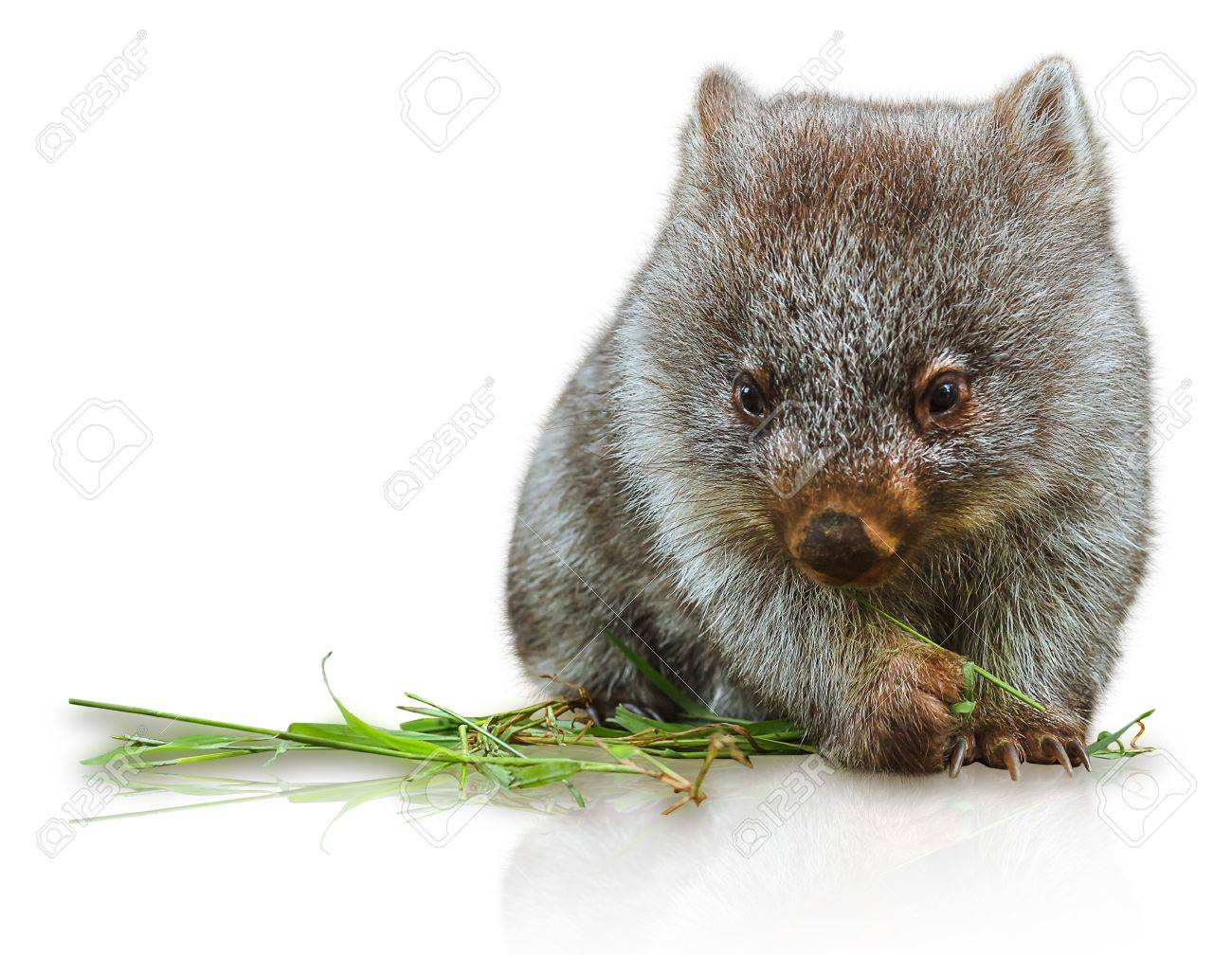 Little wombat female 3 months. Isolated on white background. Family of Wombat, mammal, marsupial herbivore that lives in Australia and Tasmania. Stock Photo - 41238193