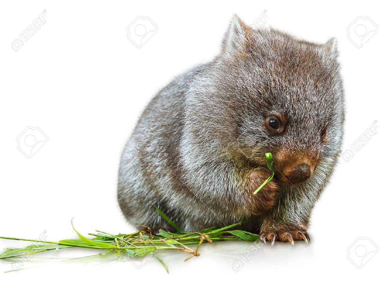 Little wombat female 3 months. Isolated on white background. Family of Wombat, mammal, marsupial herbivore that lives in Australia and Tasmania. Stock Photo - 41238916