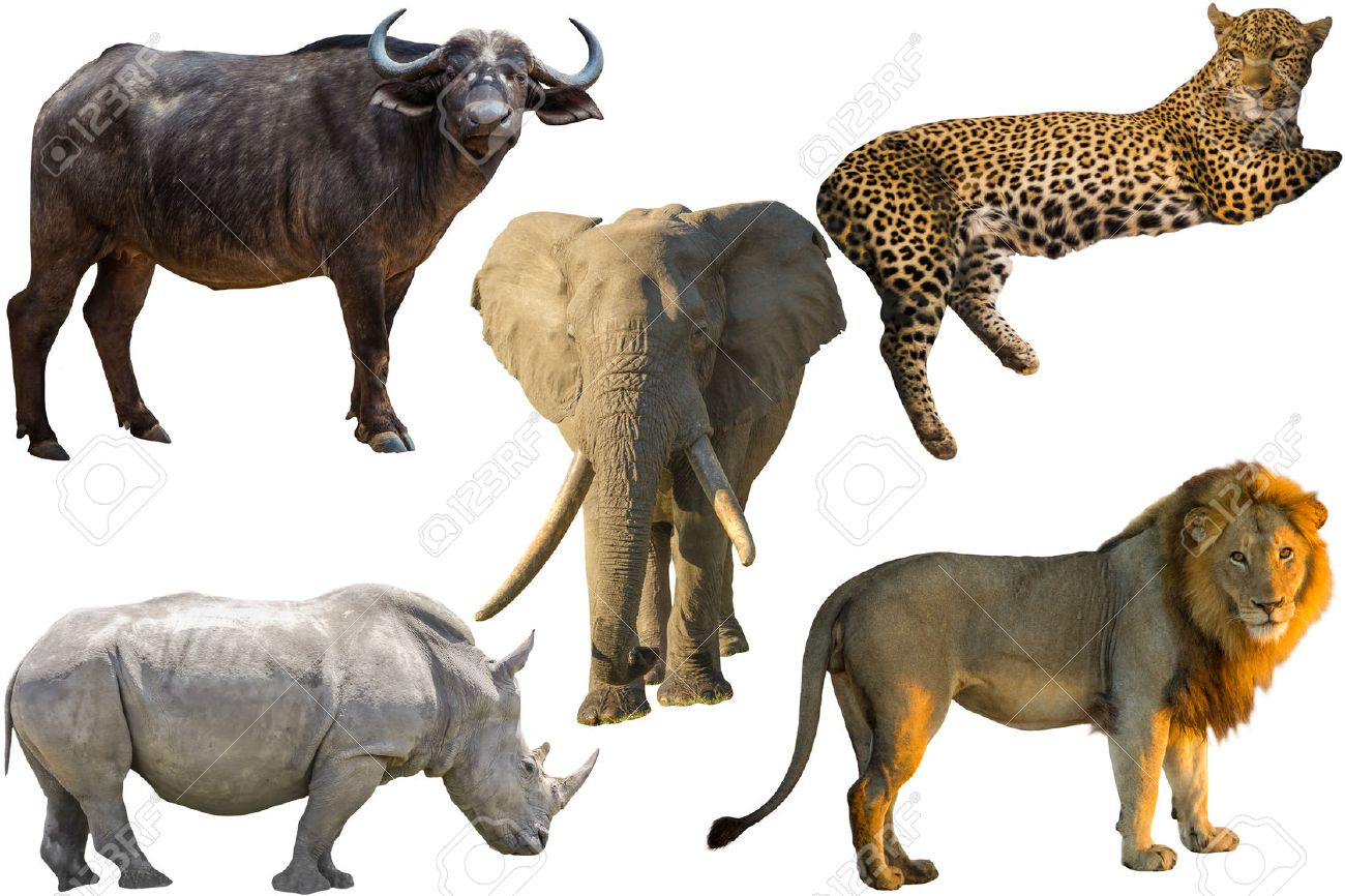 African Big Five animals Buffalo Elephant Leopard White Rhino and Lion isolated on pure white background Stock Photo - 41649306