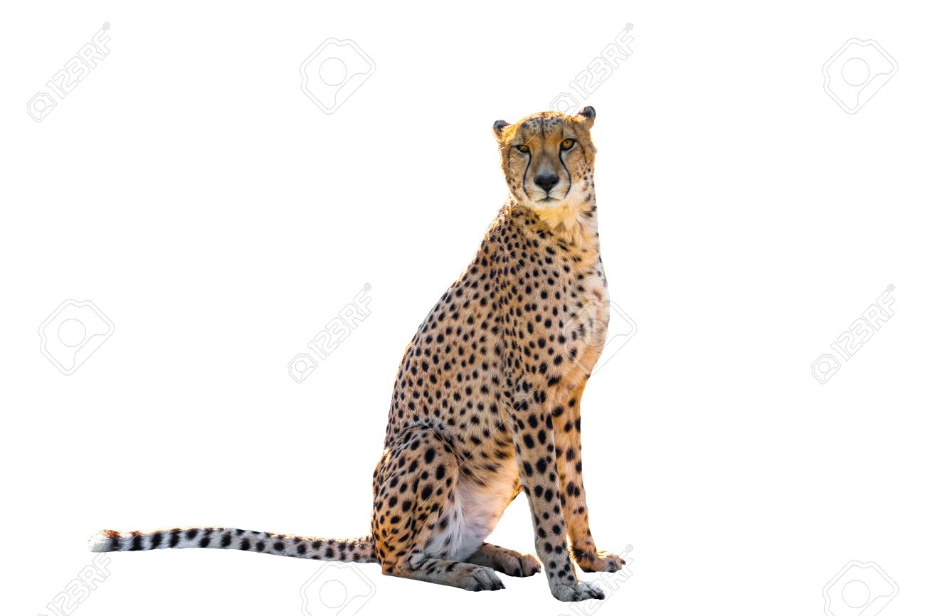 Power cheetah sitting front view, on white background, isolated. - 41591698