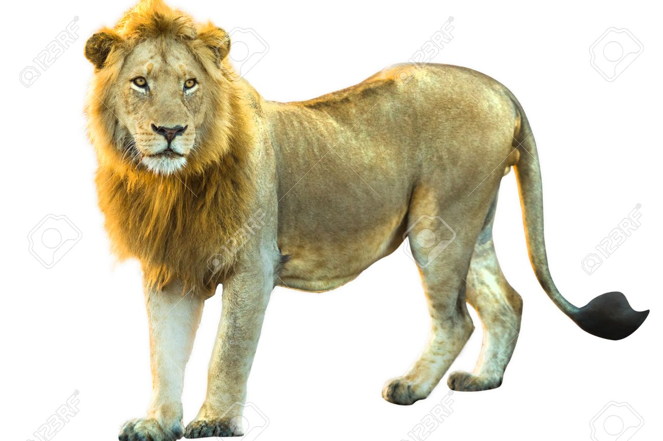 Download Lion Standing In The Savannah Wallpaper For Nokia 5233