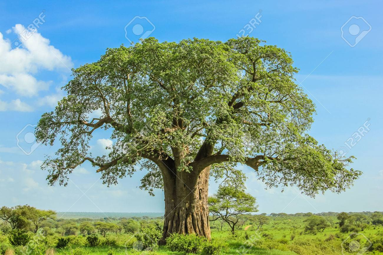 Baobab tree in Tarangire National Park in Tanzania. its enormous size. on blue sky. Stock Photo - 42250365