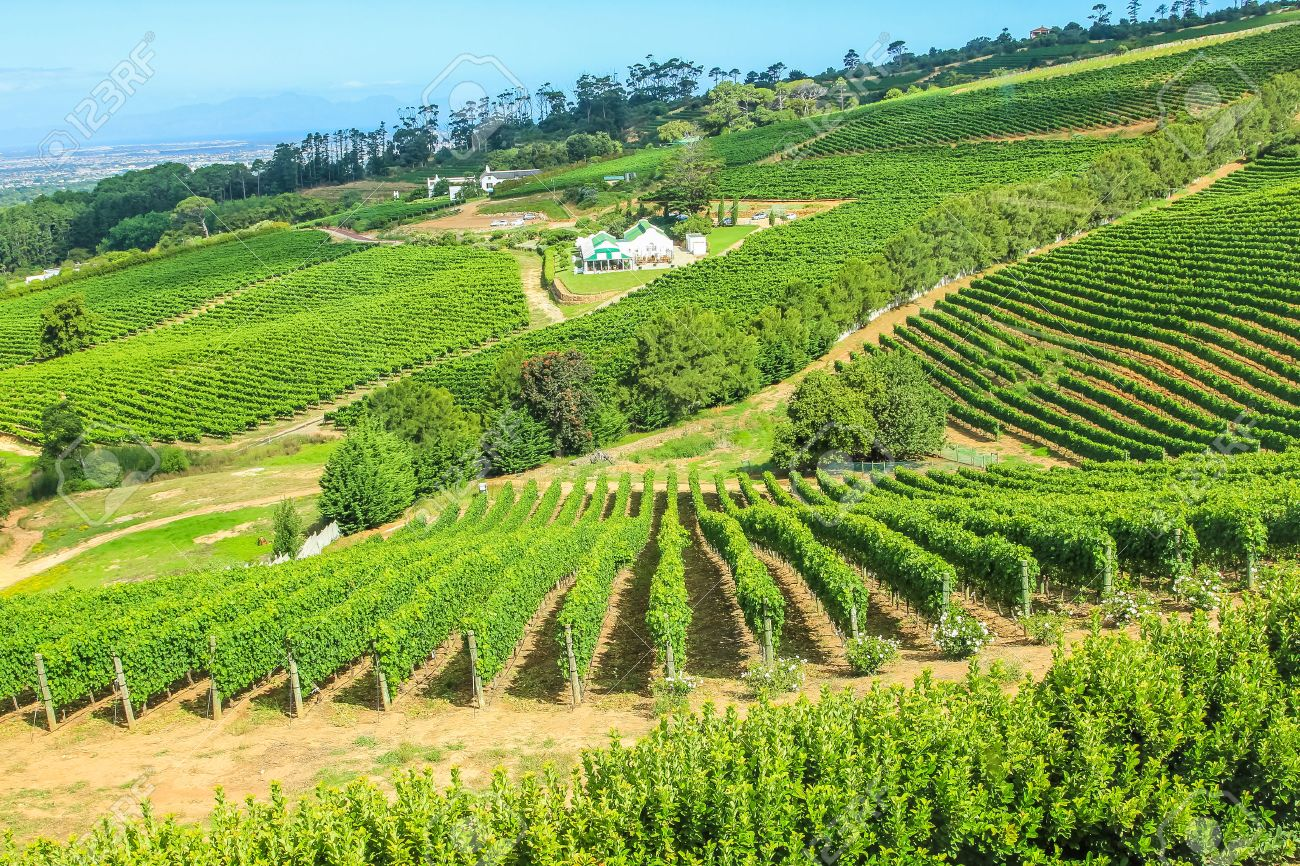 Vinery farm living in green grapevine, Constantia, Cape Town, South Africa. - 42250564