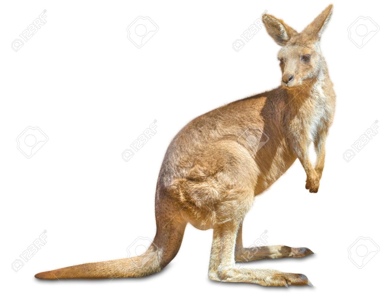 Red australian kangaroo, Macropus rufus, sideways and isolated on white . Stock Photo - 43579527