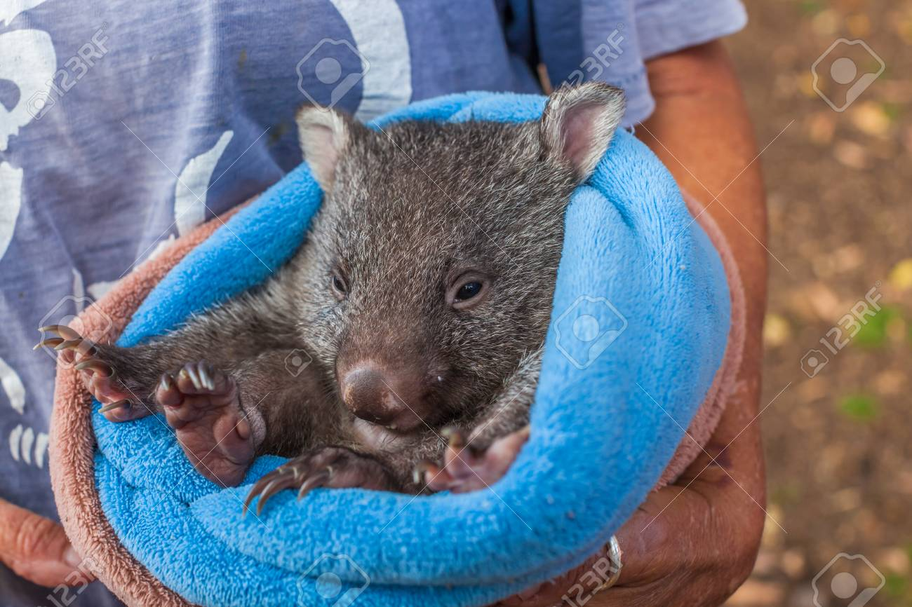 Closeup of a park attendant in her arms and a baby wombat in marsupial  position,