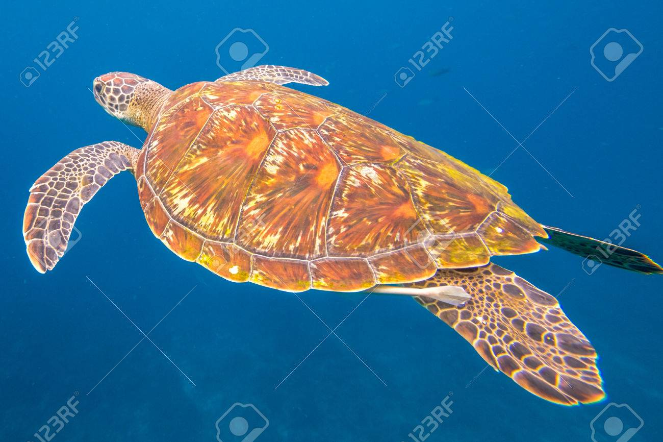 Green turtle, Chelonia mydas, swimming in blue water at the Similan Islands in Thailand, Andaman Sea. Stock Photo - 60667501