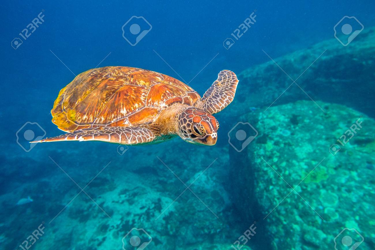 Green turtle, Chelonia mydas, swimming in blue water at the Similan Islands in Thailand, Andaman Sea. - 60667043