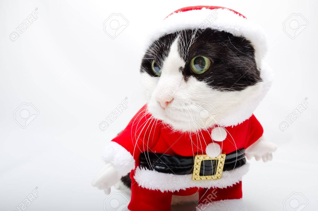 smart cat in santa claus dress standing on studio white background
