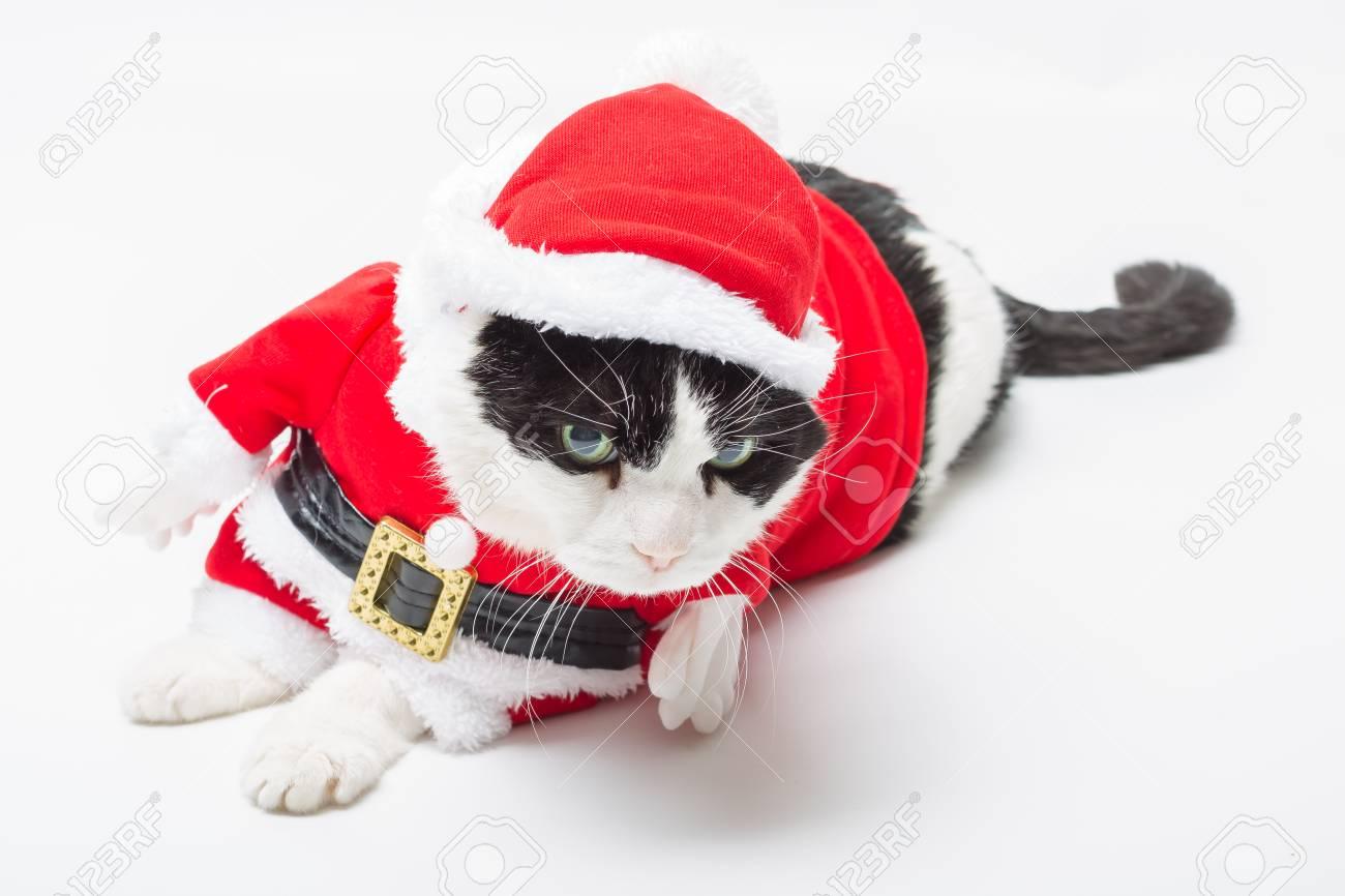 Chat Noir Et Blanc Dans La Robe De Noël Et Chapeau De Père Noël Reposant Sur Fond Blanc Studio Reposant Et Regardant Vers Le Bas