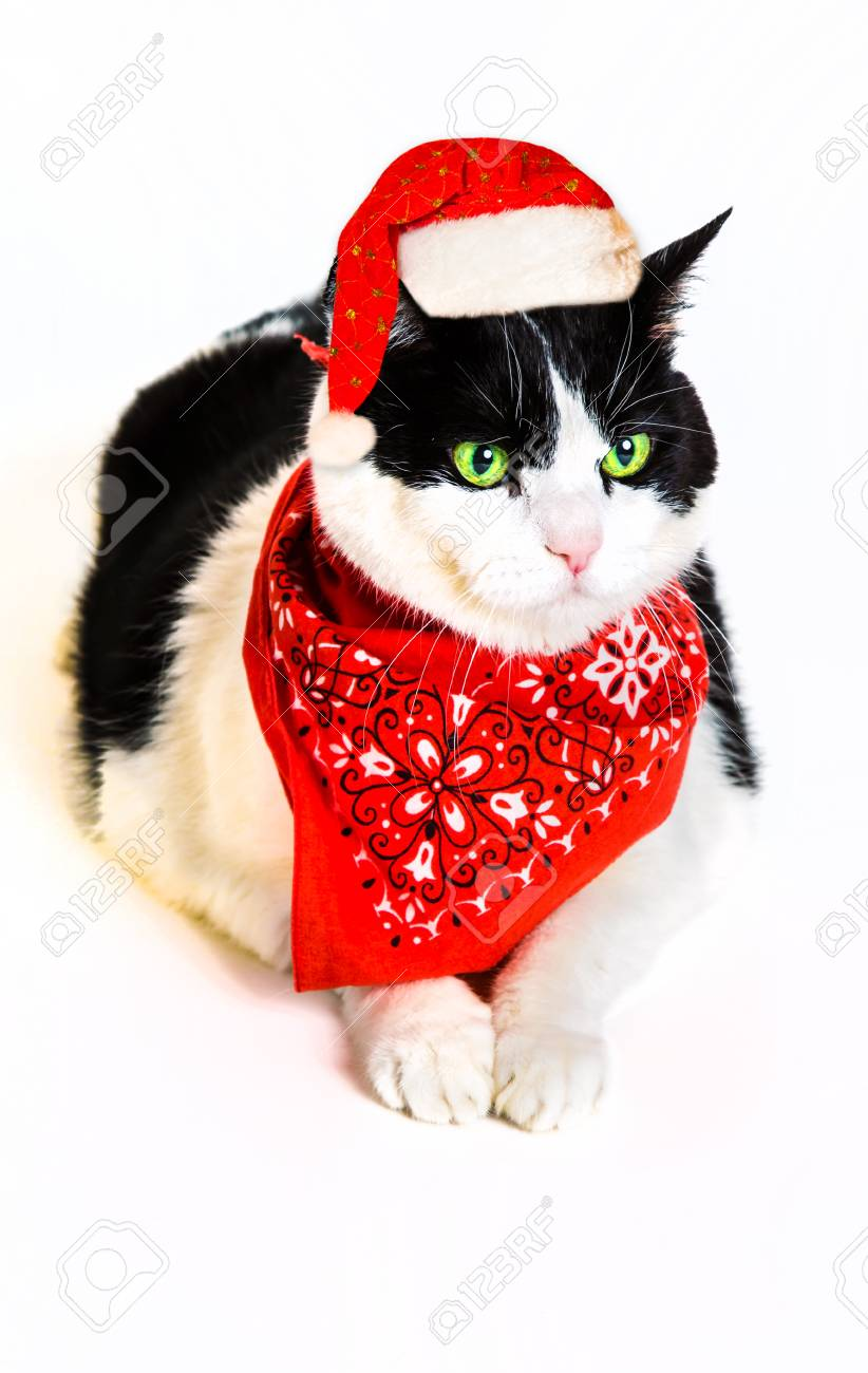 portrait of a cute black and white cat wearing a red bandana.. stock