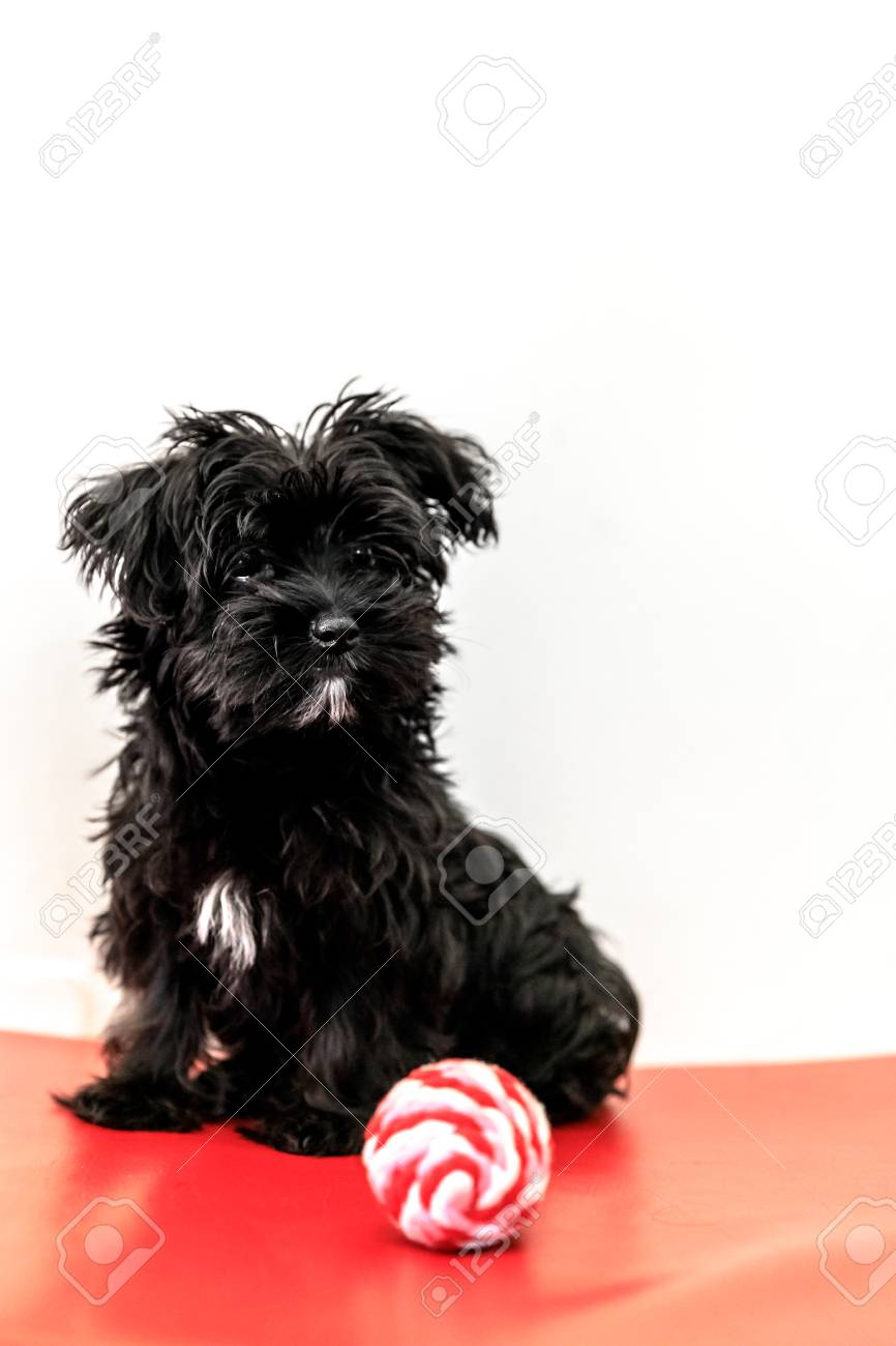 A Cute Black Dog Morkie Or Yorktese Or Malkie Puppy The Age Stock Photo Picture And Royalty Free Image Image 86302525