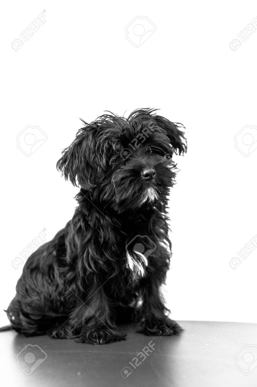A Cute Black Dog Morkie Or Yorktese Or Malkie Puppy The Age Stock Photo Picture And Royalty Free Image Image 86302526