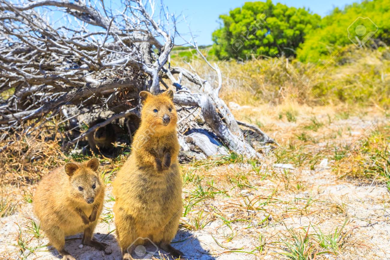Two Quokka Outdoors In Rottnest Island, Summer Season, Western.. Stock  Photo, Picture And Royalty Free Image. Image 93779663.