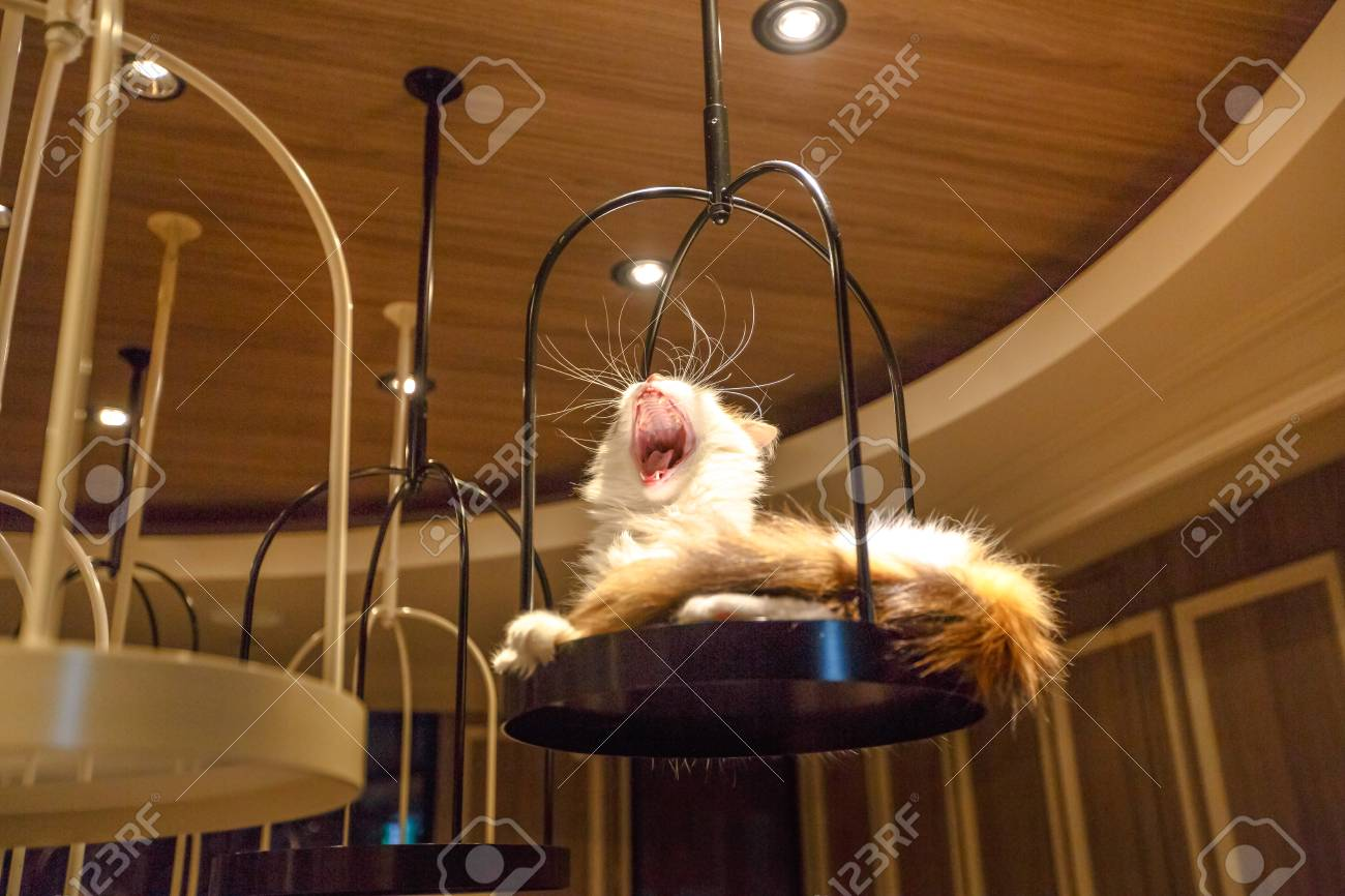 Tokyo Japan April 17 2017 Turkish Angora Cat Lying Down Stock Photo Picture And Royalty Free Image Image 98649783