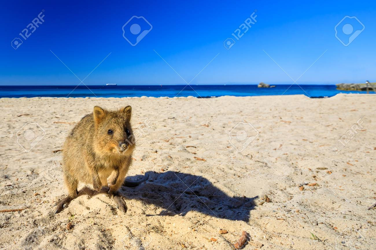 A cute Quokka on the Basin Beach at Rottnest Island in Western Australia. Quokka is considered the happiest animal in the world. Summer season. Blue sky with copy space. - 115857137