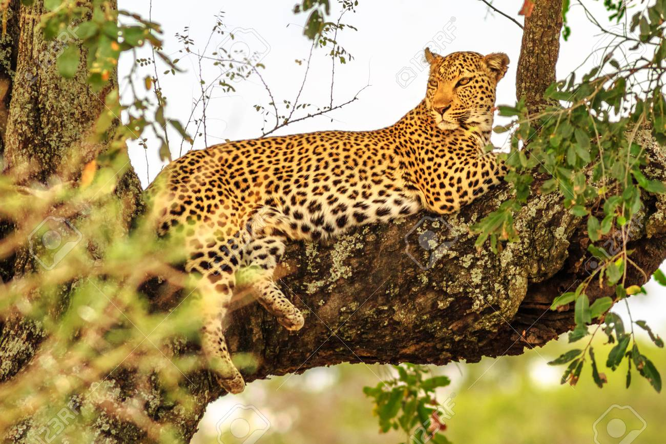 Side view of African Leopard species Panthera Pardus, resting in a tree outdoors. Big cat in Kruger National Park, South Africa. The leopard is part of the popular Big Five. - 123072954