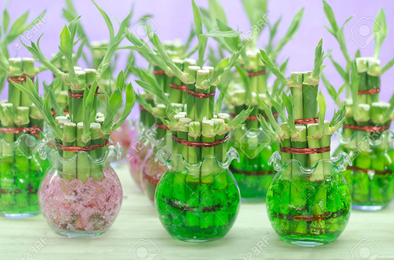 Lucky bamboo dracaena sanderiana in a glass pot stock photo lucky bamboo dracaena sanderiana in a glass pot stock photo 57772736 reviewsmspy