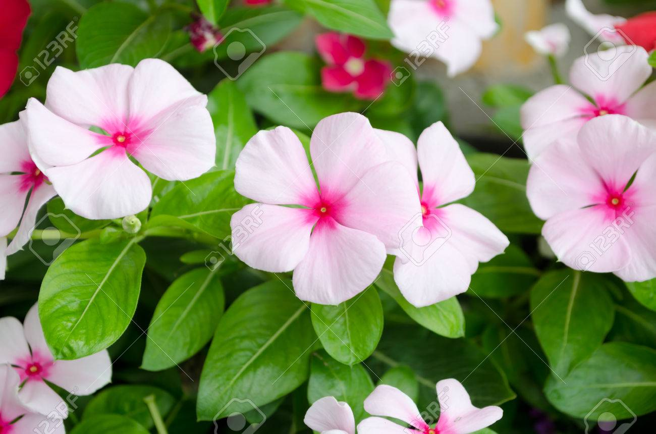 Pink Vinca Flower Madagascar Periwinkle Stock Photo Picture And