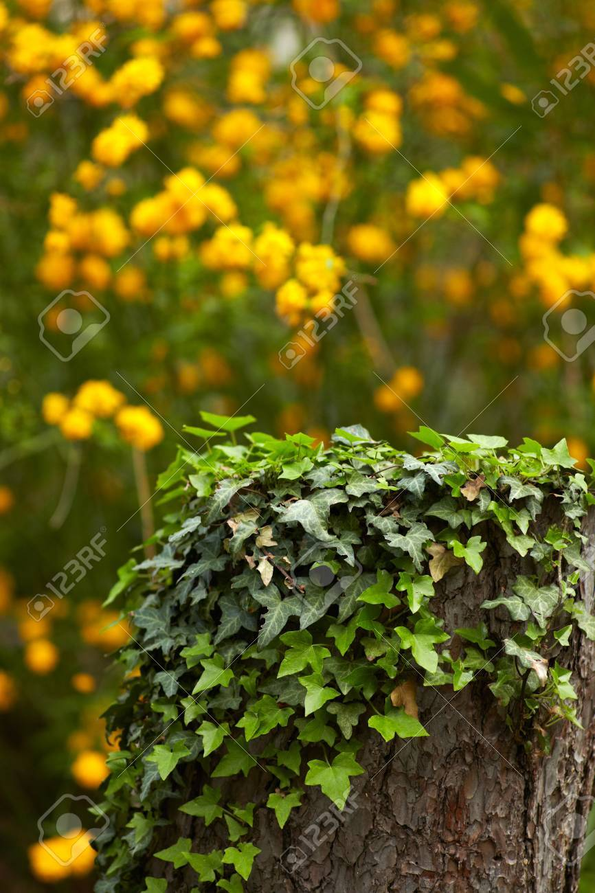 Ivy On Trunk And Yellow Flowers In The Background Stock Photo