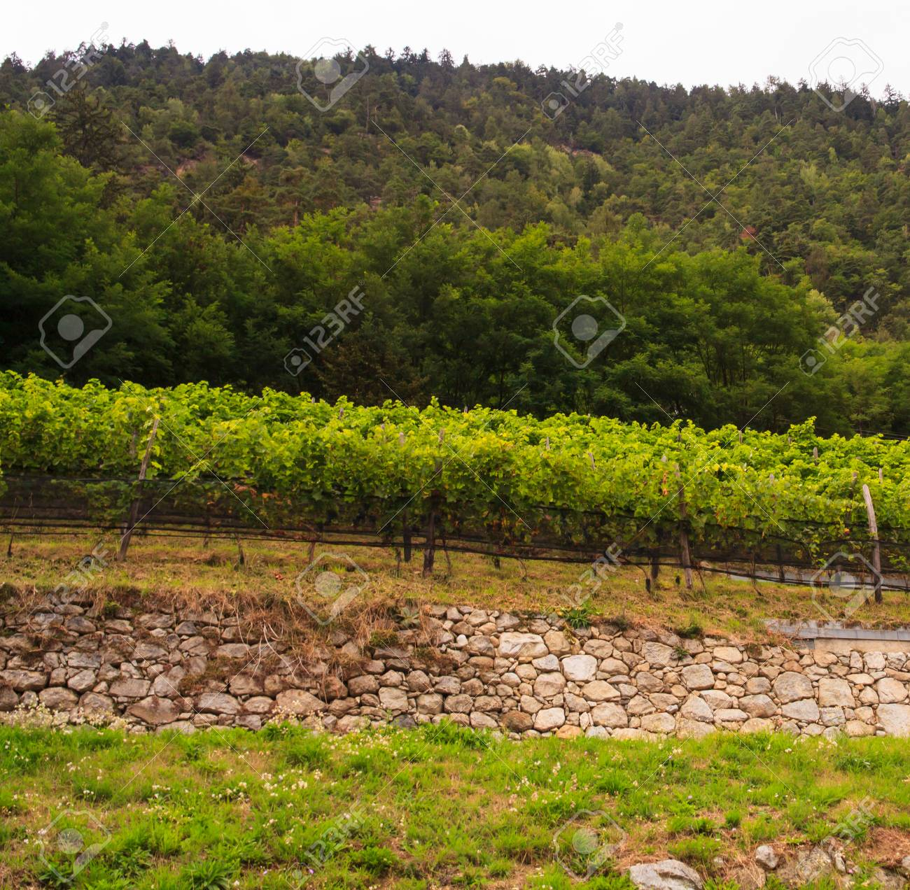 View of vineyard in Trentino Alto Adige Stock Photo - 22915568