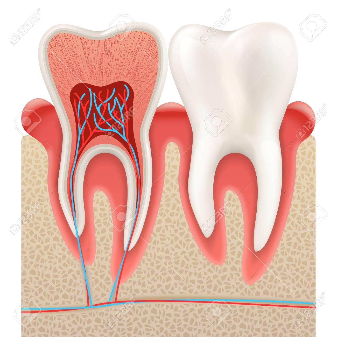 Concepto Dental, Dientes Humanos. Primer Plano De La Anatomía Del ...