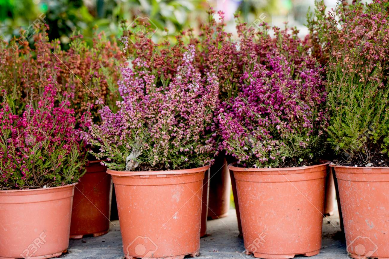 The Flower Pots With Beautiful Flowers In It Stock Photo Picture