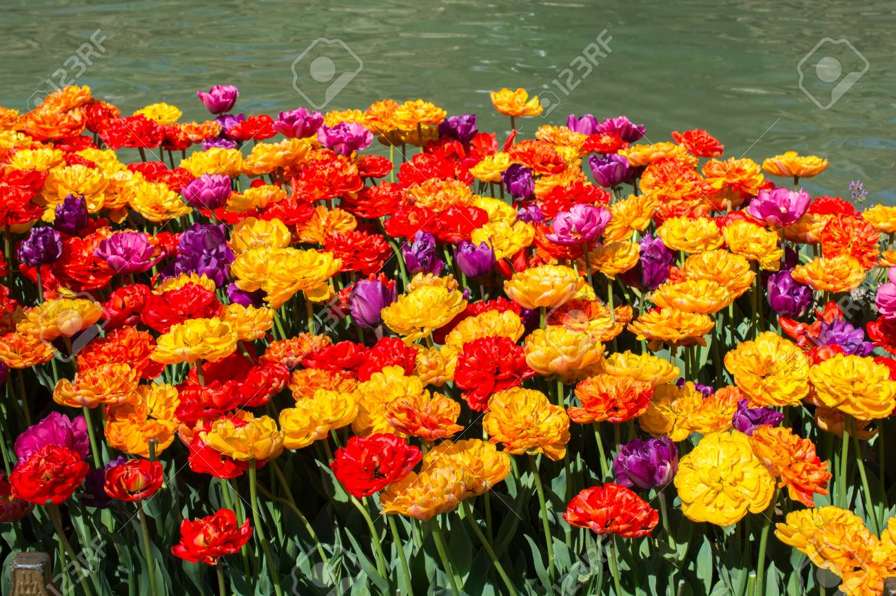 Tulip Flowers Blooming In Spring Season Stock Photo Picture And