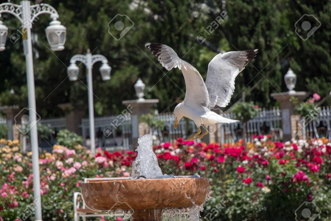 Gaviota junto a la fuente en el jardín de rosas