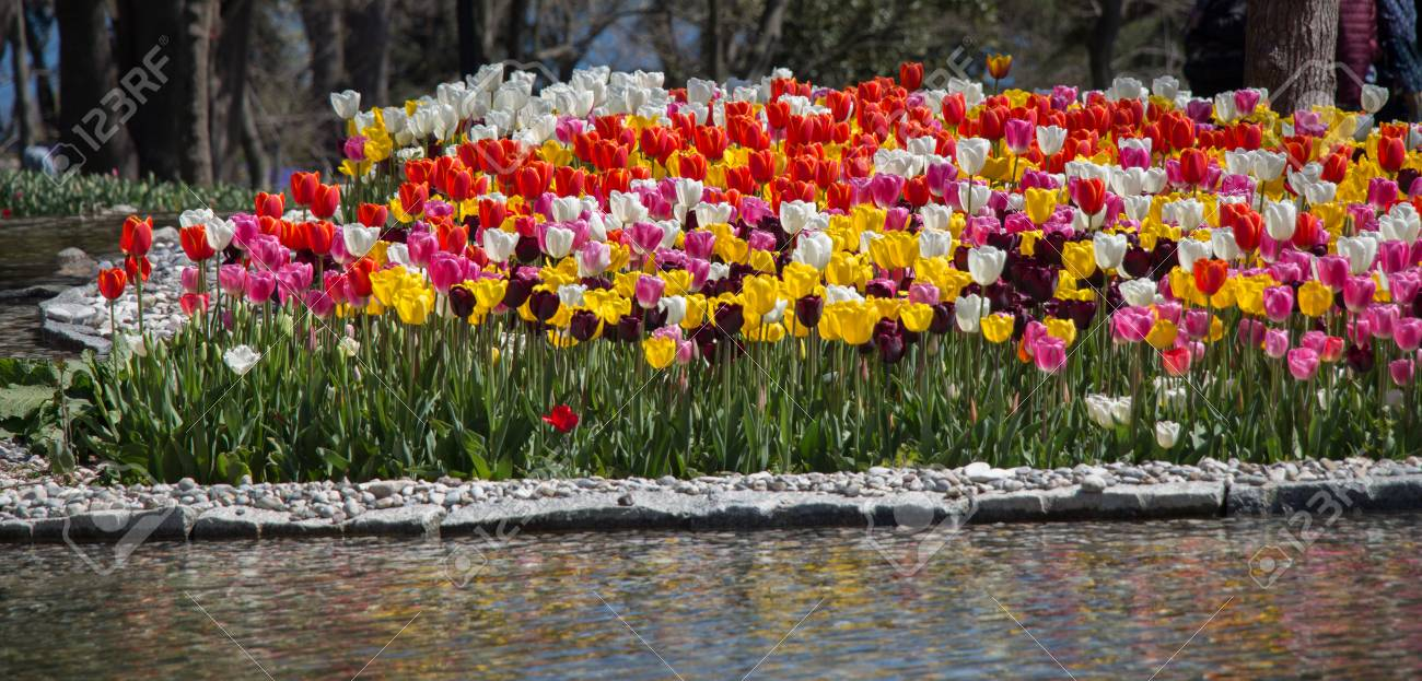 Various Color Tulip Flowers Bloom In Spring The Garden Stock Photo