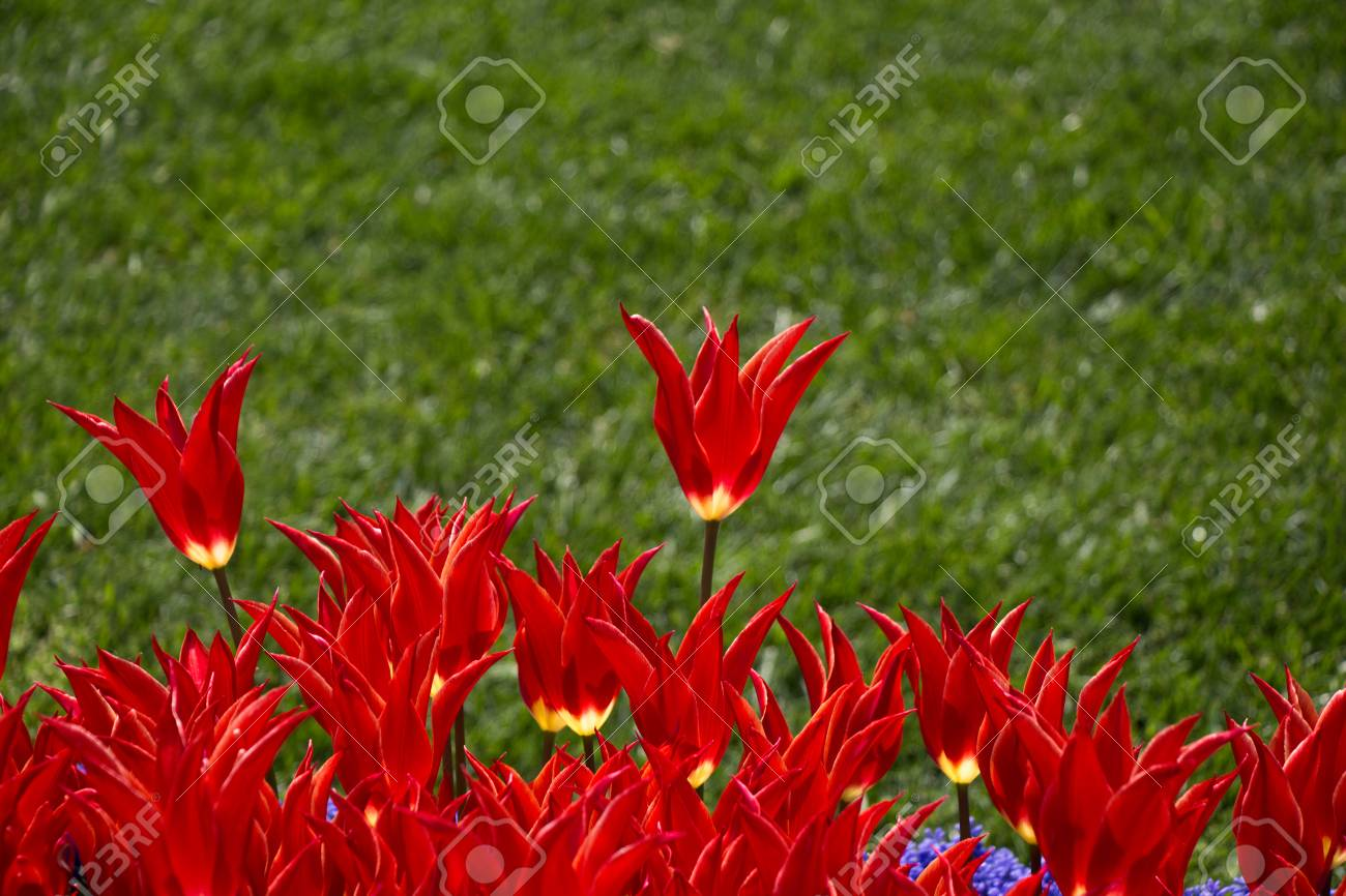 Red Color Tulip Flowers Bloom In The Garden Stock Photo, Picture And ...