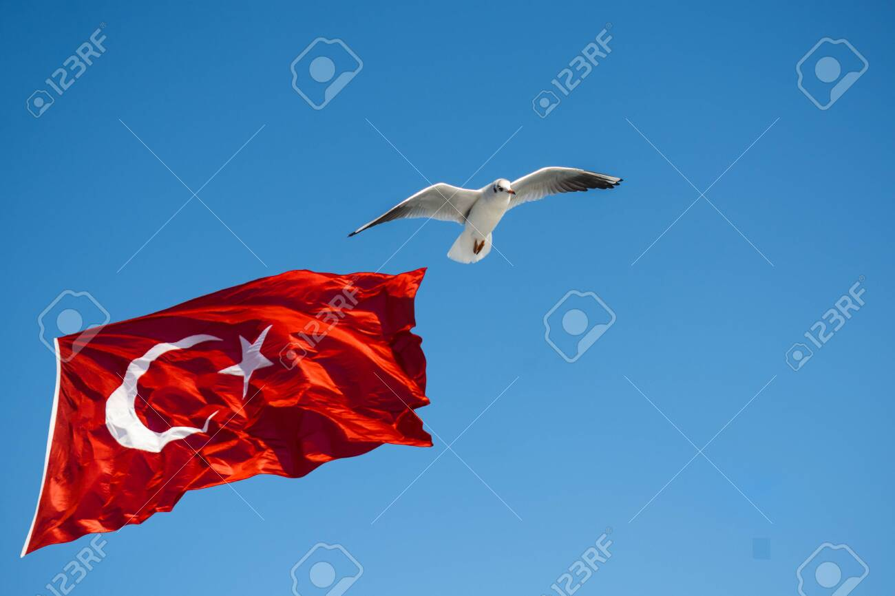 Seagull flying by Turkish national flag in blue sky - 131818546