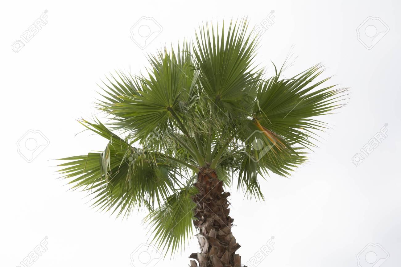 Palm tree white sky background. Isolated - 147681792