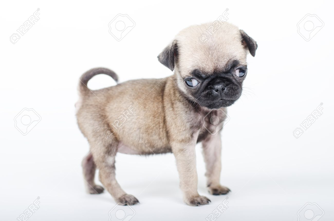 Newborn Pug Puppy Studio Shot Stock Photo Picture And Royalty Free Image Image 36086092