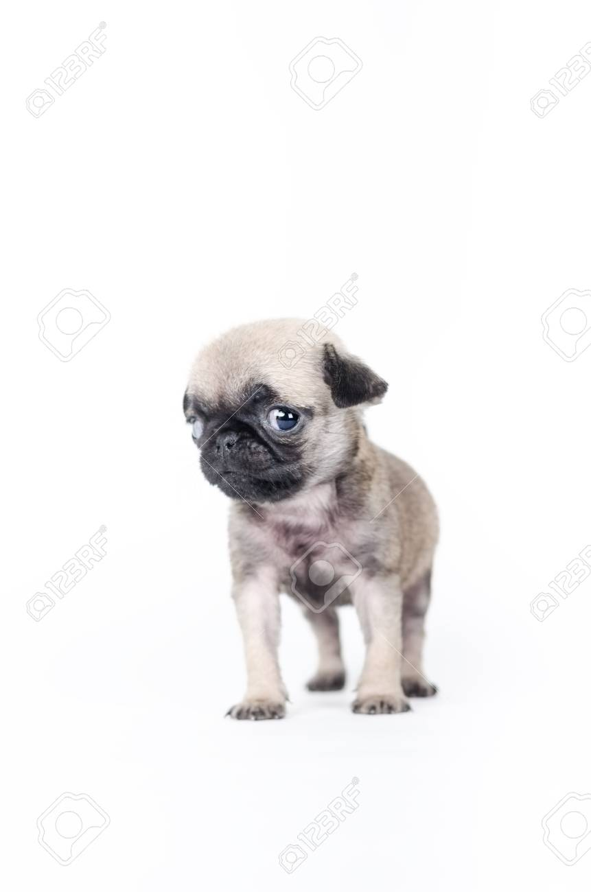 Newborn Pug Puppy Studio Shot Stock Photo Picture And Royalty Free Image Image 36086093