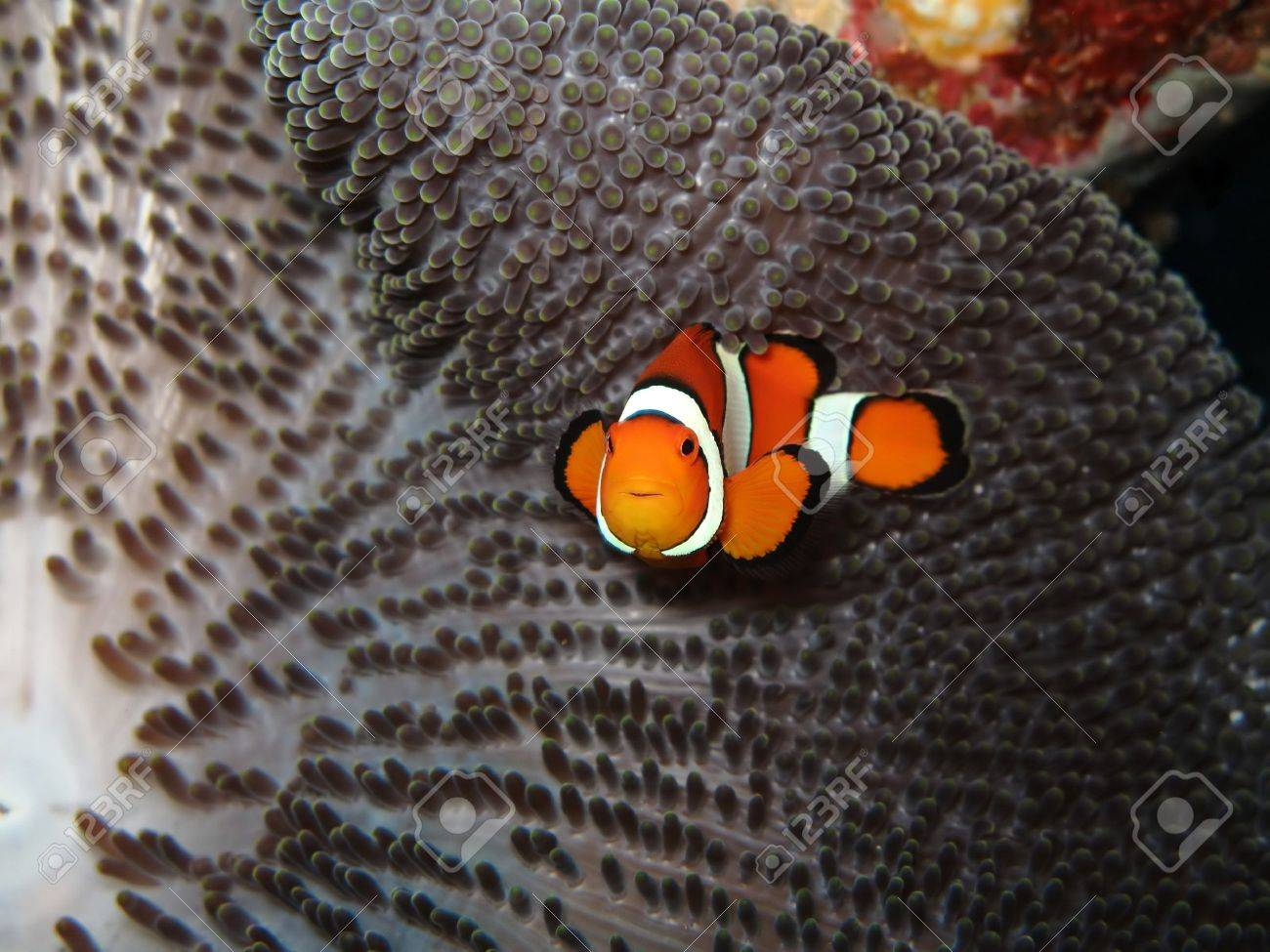 Clown fish Stock Photo - 6699965