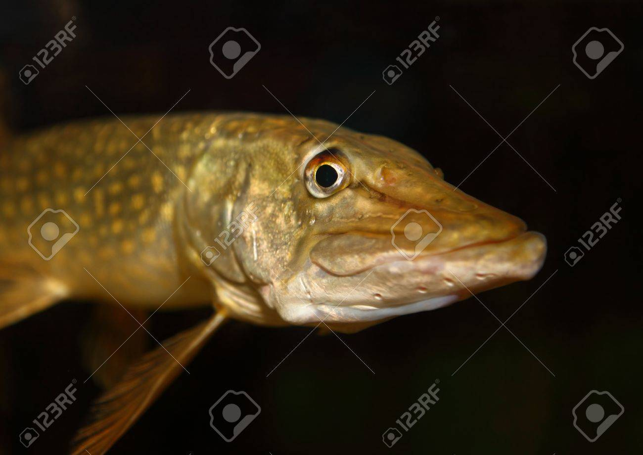 Closeup of a young pike Stock Photo - 7648255