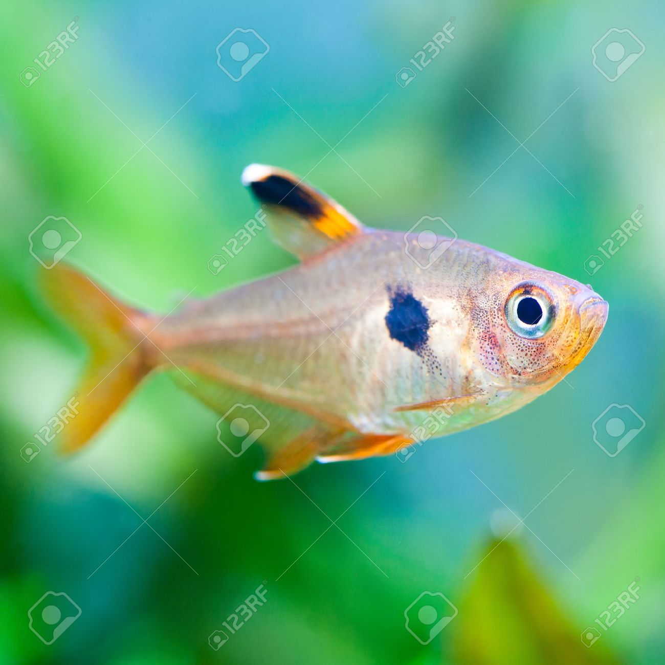 Freshwater aquarium fish photos - Aquarium Fish Rosy Tetra Nature Tank Freshwater Tank A Green Beautiful Planted