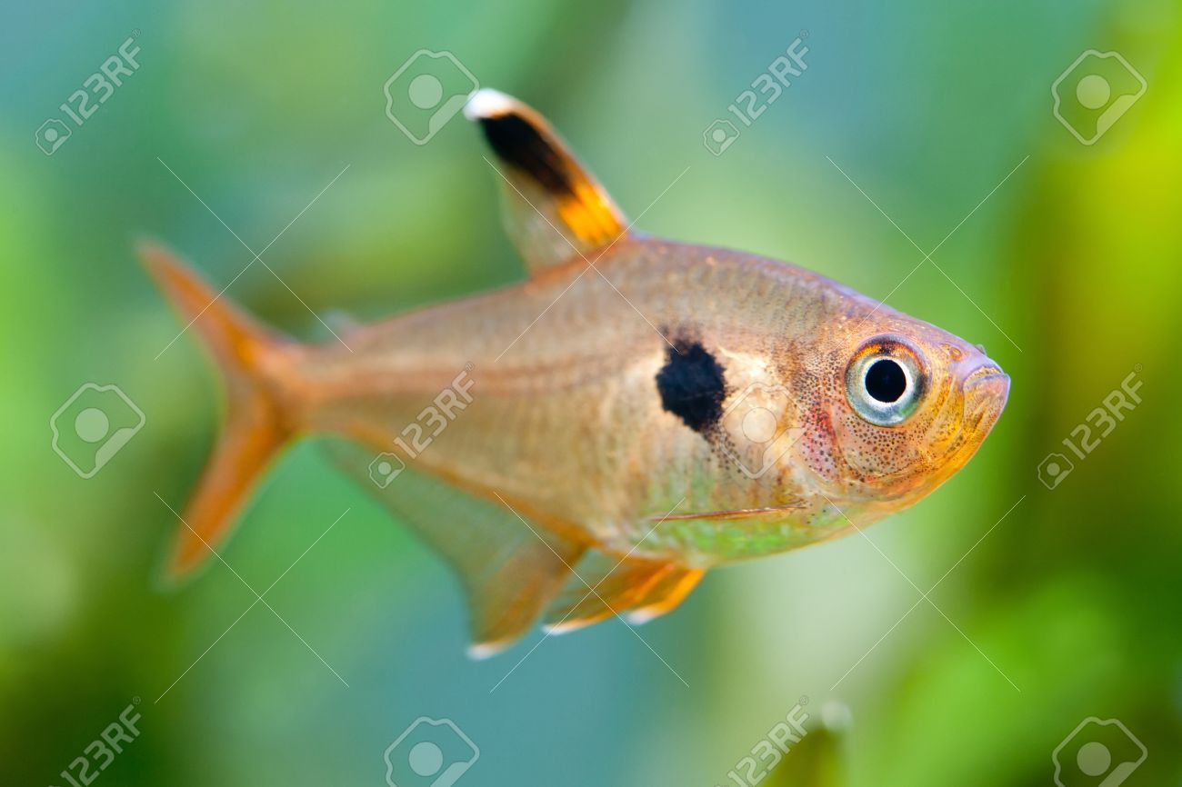 Freshwater aquarium fish from asia - Aquarium Fish Rosy Tetra Nature Tank Freshwater Tank A Green Beautiful Planted