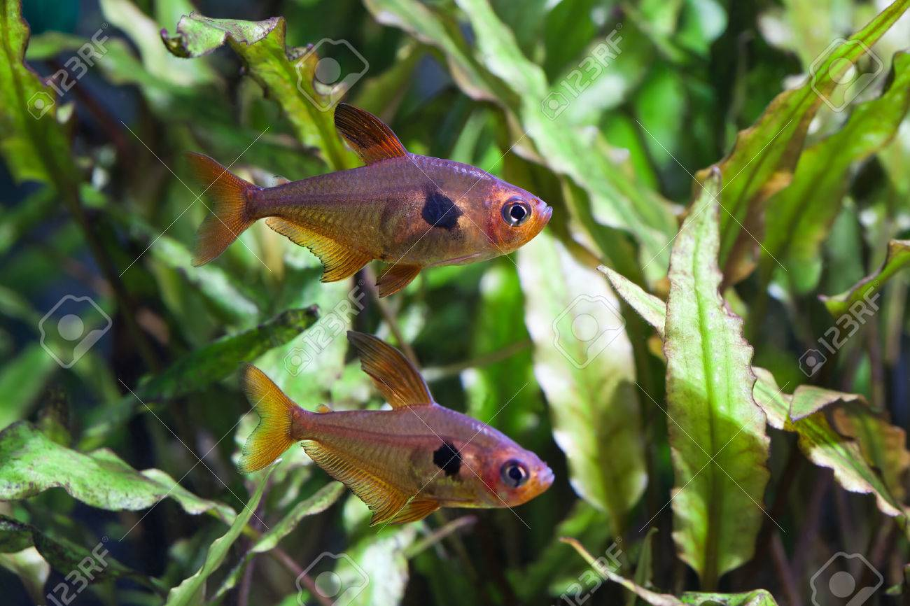 Freshwater aquarium fish with pictures - Aquarium Fish Rosy Tetra Nature Tank Freshwater Tank A Green Beautiful Planted