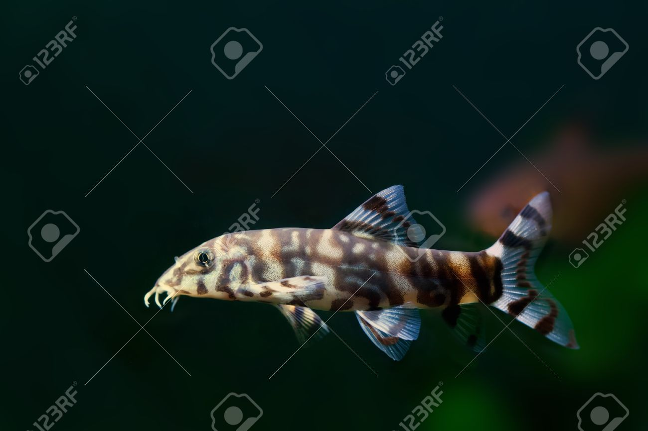 Freshwater fish for aquarium in india - Indian Loaches Striped Fish Zebra Fish Aquarium Fish Freshwater Tank Black
