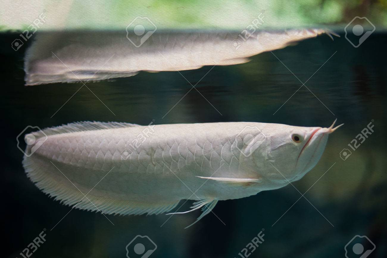 Arowana Tank | Swimming Silver Arowana White Color Tropical Fish Aquarium Stock