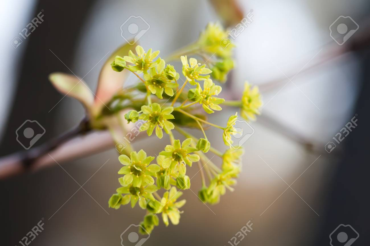 Blooming Maple Tree Branch With Yellow Flowers Soft Focus Stock