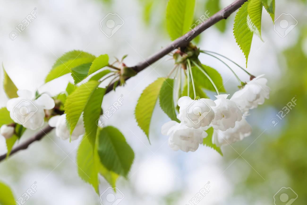 Blooming Plumleaf Crab Apple, Chinese Apple Branch. Malus Prunifolia ...