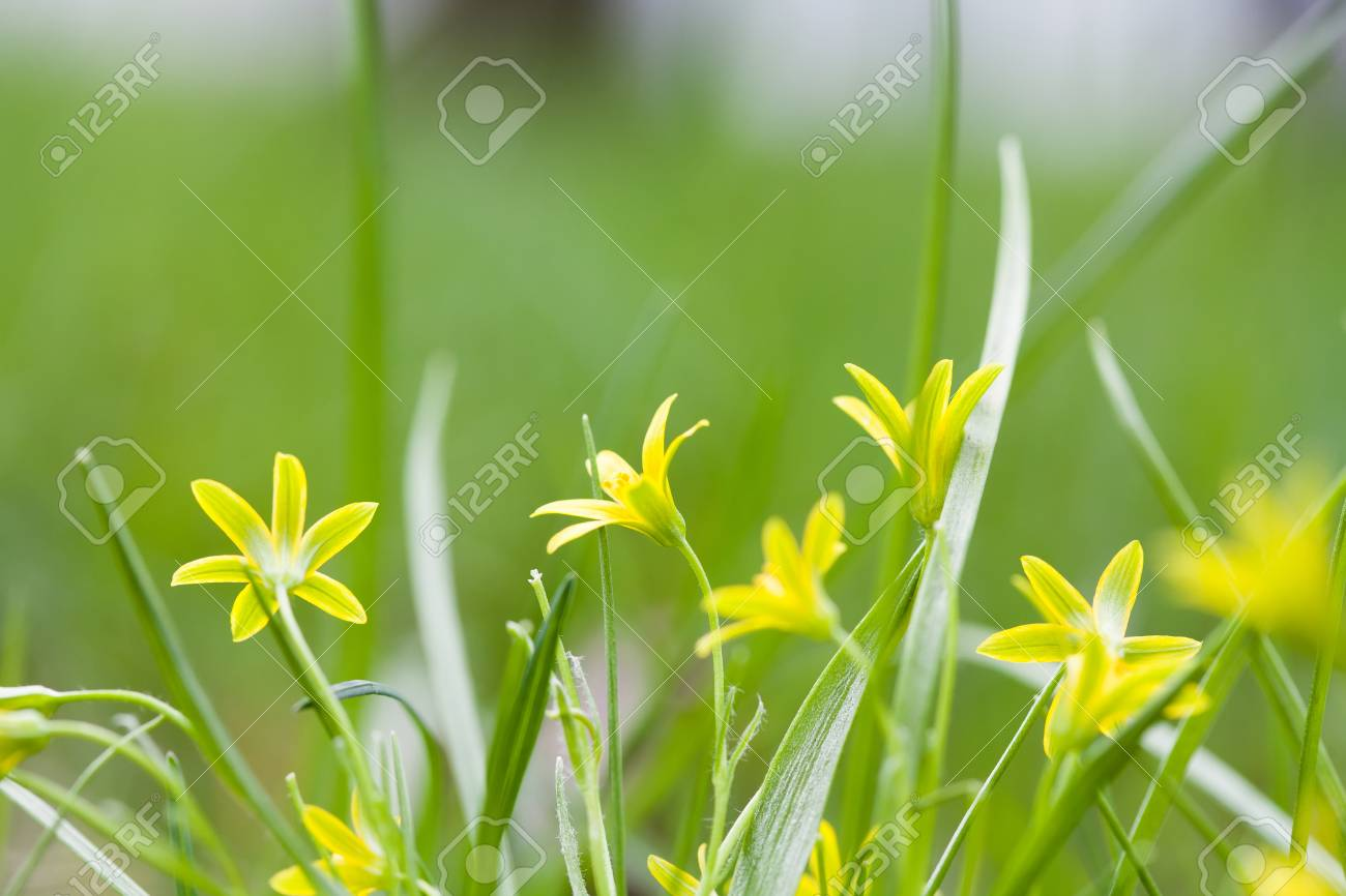 Small Yellow Flowers Blooming In Grass Field Gagea Lutea Yellow