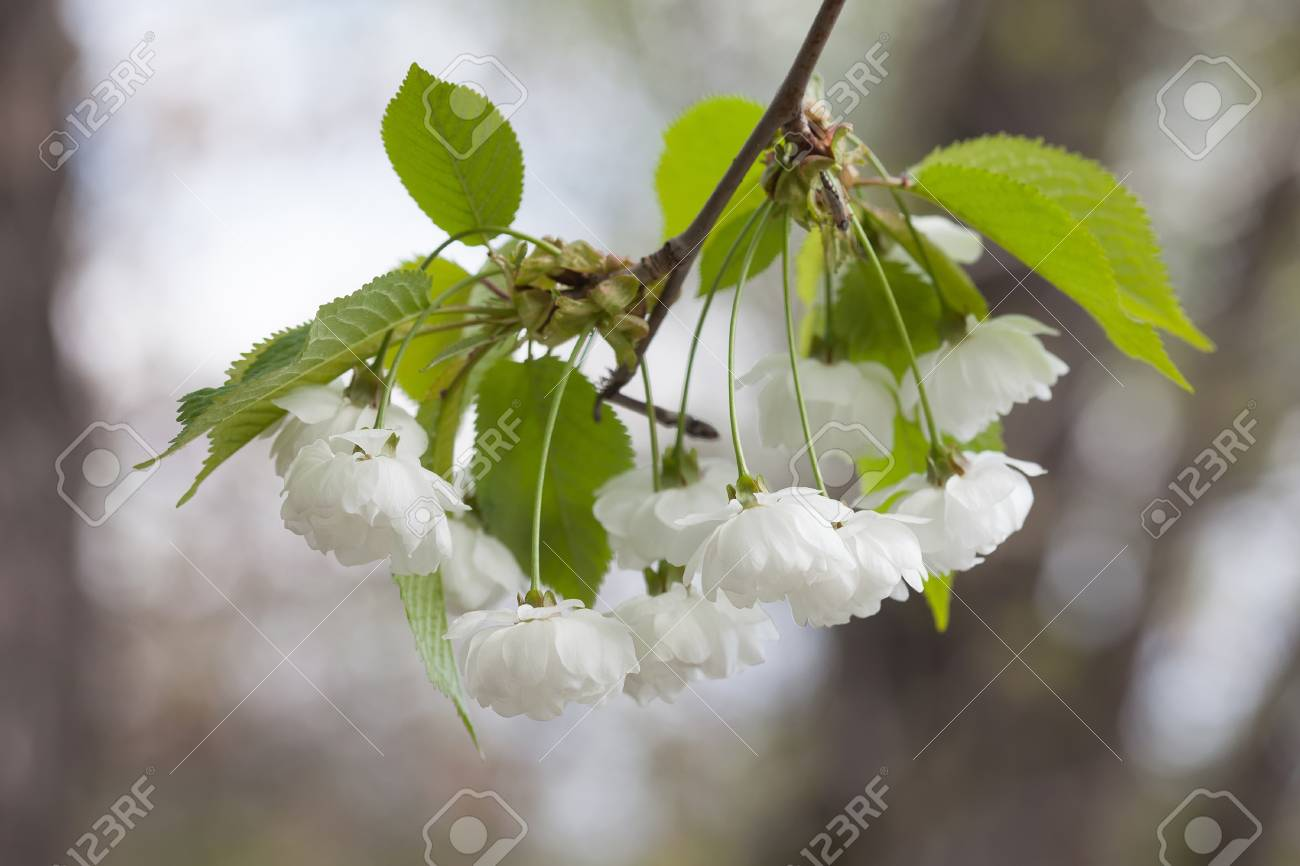 Blooming chinese apple branch with white flowers and green leaves blooming chinese apple branch with white flowers and green leaves crabapple tree malus prunifolia mightylinksfo