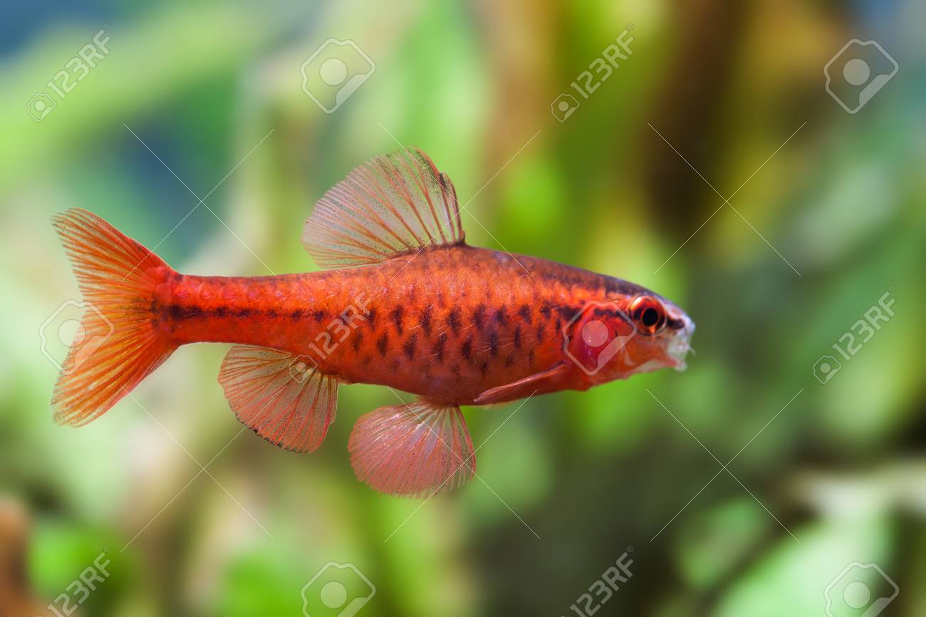 Beautiful Red Fish On Soft Green Background. Male Barb Swimming ...