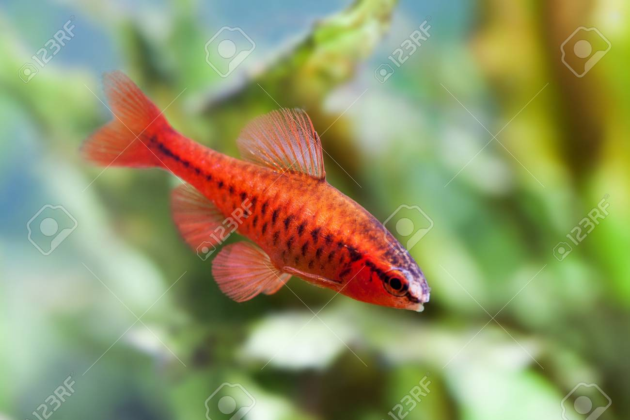 Beautiful Red Fish On Soft Green Plants Background. Male Barb ...