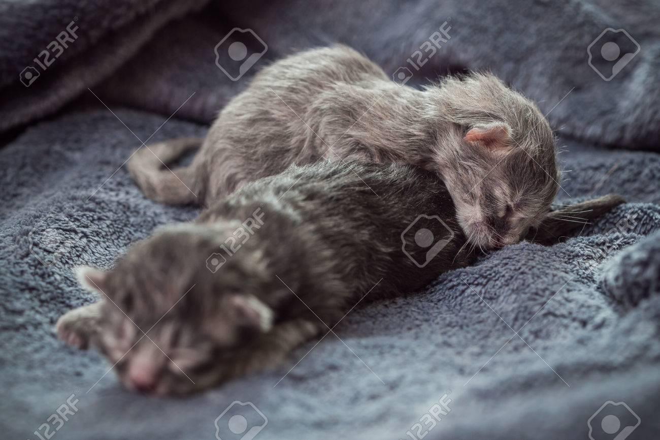 Archivio Fotografico , Gattini appena nati di colore grigio di razza un  cincillà, due gattini ciechi giacciono su una coperta grigia.