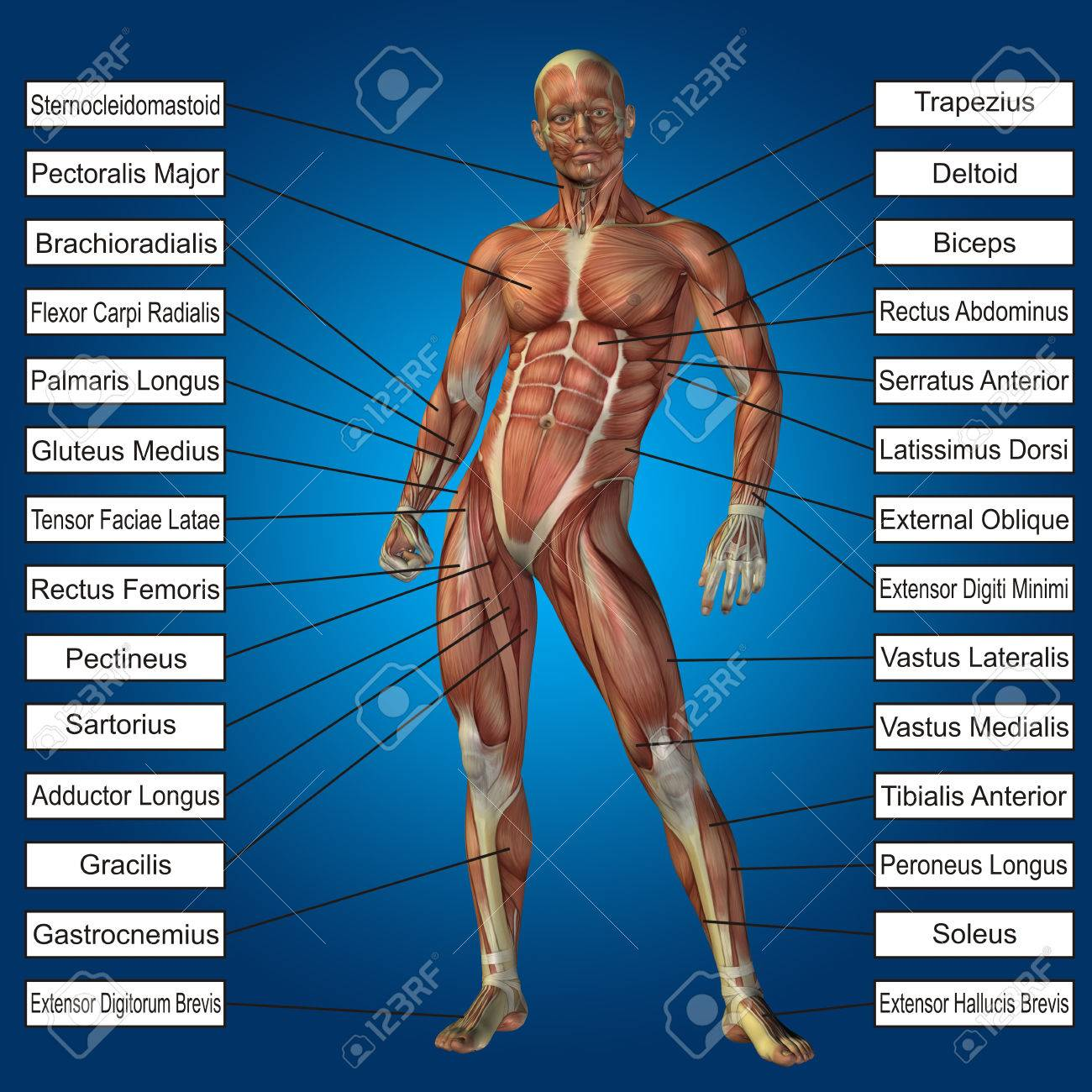 3d Human Male Anatomy With Muscles And Text On Blue Background Stock