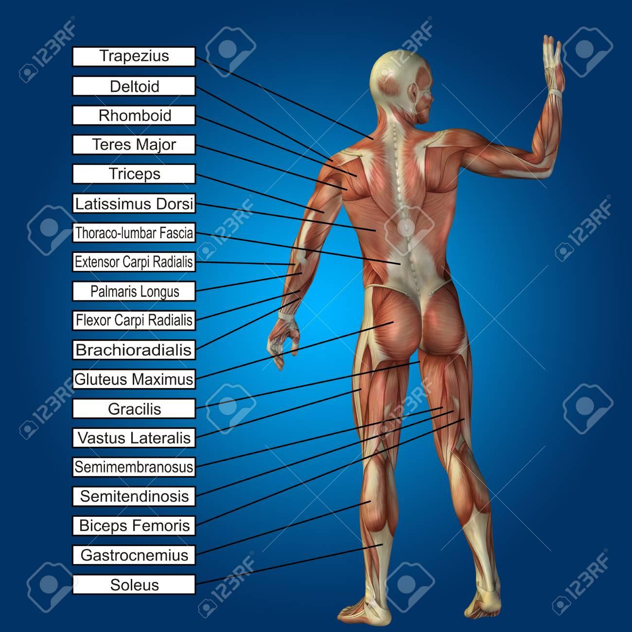 3D Anatomía Masculina Humana Con Los Músculos Y El Texto Sobre Fondo ...